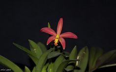 Cattleya (Sophronitis) mantiqueira x Cattleya (Laelia) reginae