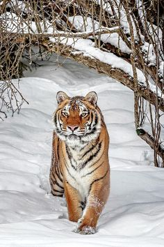 The Beauty of Wildlife — Thicket by © Wes and Dotty Weber Big Cats, Cats And Kittens, Cute Cats, Nature Animals, Animals And Pets, Cute Animals, Tiger Pictures, Animal Pictures, Beautiful Cats