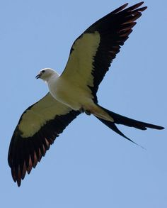 Swallow-tailed Kite (Elanoides forficatus) is an elanid kite which breeds from the southeastern United States to eastern Peru and northern Argentina.