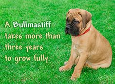 Fact about bullmastiff dog breed