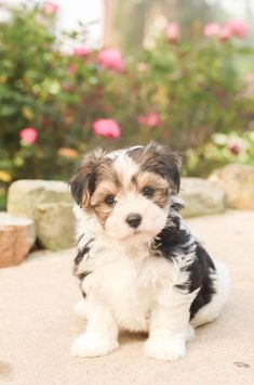 Happy, #Wonderful...🧡🐶 ..& cute #Morkie puppies! With their sparkling, irresistible puppy eyes and fluffy, #Cuddly fur, they have a way of capturing the hearts of everyone who meets them, so be prepared to fall in love after that first excited little tail wag! 🐾 • #Charming #PinterestPuppies #PuppiesOfPinterest #Puppy #Pup #Funloving #Sweet #PuppyLove #Cute #Cuddly #Adorable #ForTheLoveOfADog #MansBestFriend #Animals #Dog #Pet #PuppyandChildren #LancasterPuppies www.LancasterPuppies.com Havapoo Puppies, Havanese Puppies, Dog Breeders Near Me, Lancaster Puppies, Poodle Mix, Animals Dog, Puppy Eyes, Puppies For Sale, Mans Best Friend