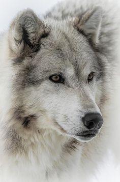 Wolf Dog by Athena Mckinzie - Wolves - Art - Hunde Wolf Images, Wolf Photos, Wolf Pictures, Wolf Photography, Wildlife Photography, Beautiful Wolves, Animals Beautiful, Tier Wolf, Wolf Artwork