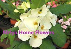 Euphorbia milii Grandiflora Hybr Bridal White. Euphorbia Milii, Home Flowers, Bridal, Plants, Plant, Bride, The Bride, Planets