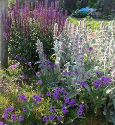 Salvia, Stachys, Verbena rigida