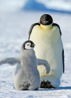 Antarctica's Adorable Emperor Penguins photo by David Schultz