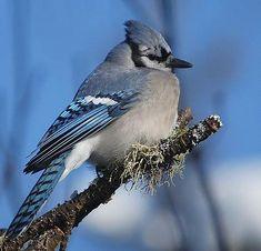 Geai bleu Owl Bird, Bird Art, Pretty Birds, Beautiful Birds, Blue Jay Bird, Kinds Of Birds, Butterfly Wallpaper, Wild Nature, Bird Pictures