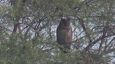 Dusky Eagle Owl (SHRIKANT MADHAV KELKAR)
