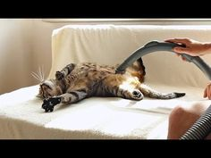 This cute cat loves being vacuumed.