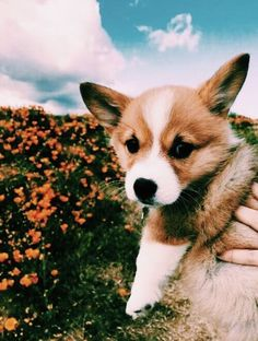 Welsh Corgi Funny Find Out More On Pembroke Welsh Corgi SizeFind Out More On Pembroke Welsh Corgi Size Cute Corgi Puppy, Corgi Dog, Cute Puppies, Cute Dogs, Dogs And Puppies, Baby Corgi, Baby Puppies, Puppy Husky, Mastiff Puppies