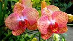 Come impiantare correttamente un'orchidea