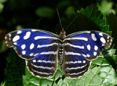 Stunning Royal Blue Butterfly!