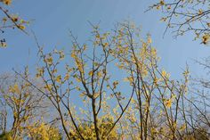 Witch Hazel 'Arnold Promise' yellow blooms in early spring Landscape Design, Garden Design, Witch Hazel, Spring Blooms, Early Spring, Gardening, Yellow, Plants, Beginning Of Spring