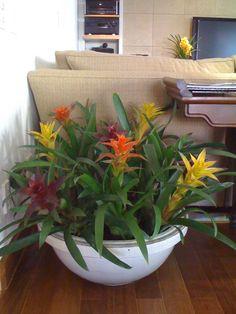 Plantas ideais para ambientes internos. Bromélias existem de diversas espécies…