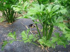como plantar Aipo ou salsão