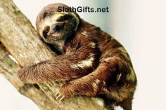 Visit SlothGifts.net for more funny sloth photos and videos
