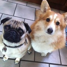 21 Pug And Corgi Best Friends Who Will Be The Very Thing That Melts The Internet