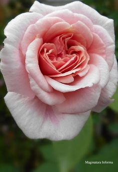 Rosa 'Cécile Brunner' ~ It grew in my old garden. A heritage rose of over 100 years.