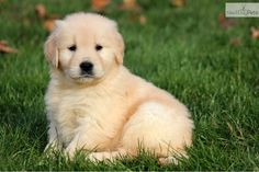 Golden Retriever Puppy, so getting one soon!