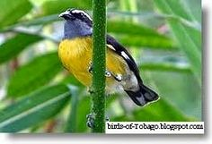 Bananaquit http://birds-of-tobago.blogspot.com/2013/10/bananaquit.html  #Bananaquit #birds #Tobago #yellow birds #tropical birds