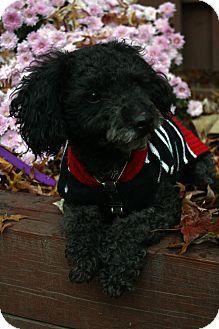 Morristown Nj Miniature Poodle Meet Benjamin A Dog For Adoption Http Www Adoptapet Com Pet 11906130 Morristown New J Miniature Poodle Dog Adoption Pets