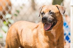 Pictures of Frik a Boxer for adoption in Key Biscayne, FL who needs a loving home.
