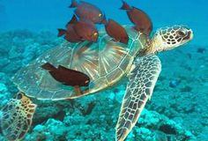 Riesen-Wasserschildkröte in bester Gesellschaft.
