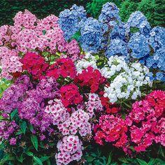 Spring Hill Nursery Live Tall Phlox Bare-Root - Set of Eight Flower Pots, Plants, Perennials, Wholesale Flowers, Phlox Flowers, Flowers, Natural Landscaping, Autumn Flowering Plants, Fall Plants