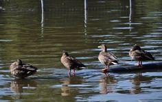 Do; Ra; Me; Fa; La la la la la...Duck Quartet Tuning up for a concert later today on the pond.  #birdsofinstagram #landscape #intonature #justgoshoot #natureshooters #naturephotogtaphy #naturelovers #nature #naturewalk  #ig_bestshots #magicphotographers #landscapephotography #landscapelovers #instanature #landscaping #nikon #nikonphotos #nikonphotographer  #nikonphotoart #nikonartist #photography #photographylovers #coolcapture #earthphoto #pigeon #wildlife #photooftheday #bird_lovers #ducks…