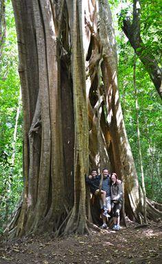 Monteverde Family Vacation Strangler Fig