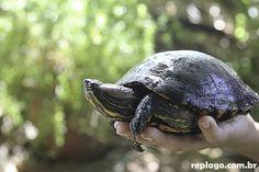Tigre d'água – Trachemys dorbigni - Animais - RepLago - Rep Lago - Acampamento - Natureza - Verde - mata - bicho - tartaruga - tartaruga-verde-e-amarela - tigre -tartaruga -  réptil