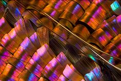 Macro photographs of butterfly wings taken by biochemist Linden Gledhill.