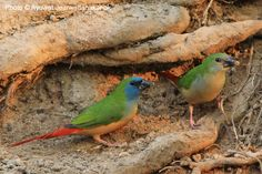 Pin-tailed Parrotfinch  Indische Nonpareil.
