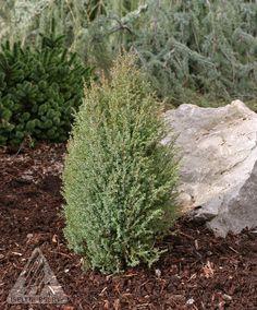 Kigi Nursery - Juniperus communis ' Miniature ' Dwarf Common Juniper, $25.00 (https://kiginursery.com/dwarf-miniatures/juniperus-communis-miniature-dwarf-common-juniper/)