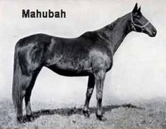 Mahubah(1910)(Filly)Rock Sand-Merry Token By Merry Hampton. 4x5 To Lord Clifden, 5x5 To Newminster, 5x5x5x5 To Stockwell. 5 Starts 1 Win 1 Second $390. Dam Of Man O' War And My Play. All Five Of Her Foals Were Full Siblings To Man O' War.