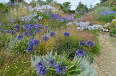 This is gorgeous. Can I do this on my hillside? Lots of agapanthus, which I've never grown, with artemesia, berlandia, and at least four different types of grasses. Glorious