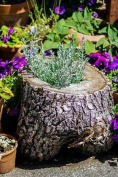 """lavender in a tree stump...we have tons of these stumps from cutting up a dead tree that was rotted inside. I'm told this is called """"stumpology."""""""