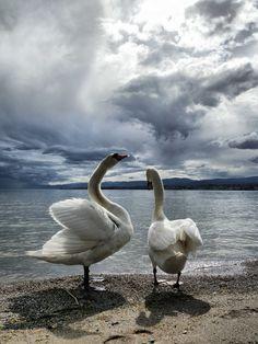 Photo prise au bord du lac Léman, pour la précision à Saint-Sulpice (Vaud, Suisse). Photos, Pictures, Saint, Switzerland, Photography, Animals, Lake Geneva, Photograph, Animaux