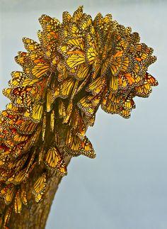 Monarch Butterflies by Pierre Ethier