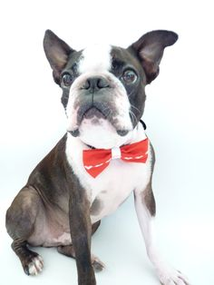 boston terrier up close with a red bow tie