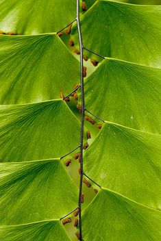 Leaf Ladder by janet little, Longwood Gardens, Pennsylvania. Looks like a frond of a member of the Adiantum genus or maidenhair ferns. The black dots are spores, not bugs.