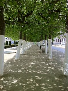 Alley of trees with white trunks