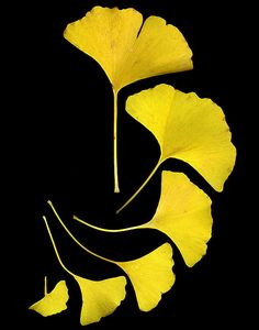 Ginkgo leaves shown in there fall color, yellow---make beautiful earrings or necklace dipped in gold.