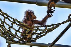 Baby orangutans, like little Aisha, have the rockingest dos around.