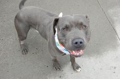 GONE 12-12-2015 --- SUPER URGENT Brooklyn Center – P  My name is SNORK. My Animal ID # is A1055851. I am a male gray pit bull mix. The shelter thinks I am about 1 YEAR 1 MONTH old.  I came in the shelter as a STRAY on 10/24/2015 from NY 11236, owner surrender reason stated was STRAY. http://nycdogs.urgentpodr.org/snork-a1055851/