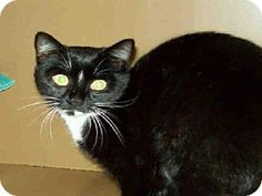 URGENT! Haw River, NC - Domestic Mediumhair. Meet MOTOR, a cat for adoption. Domestic Mediumhair Color: Black & White Or Tuxedo Age: Adult Sex: Male ID#: 7595646-A091396 Hair: Medium Act quickly to adopt MOTOR. Pets at this shelter may be held for only a short time. http://www.adoptapet.com/pet/11581305-haw-river-north-carolina-cat