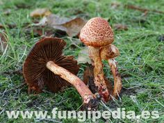 Cortinarius bolaris es un hongo del orden Cortinariales también conocido como Agaricus bolaris, .. ver más información.