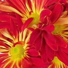 Red Disbud Rover Mums | Florabundance Wholesale Flowers Brown Flowers, Colorful Flowers, Chrysanthemum, Wedding Flowers, Daisy, Bloom, Herbs, Floral, Plants