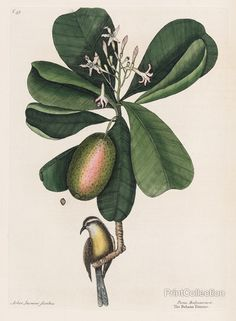 This image of a bird and plant by Mark Catesby. He was an early eighteenth-century naturalist who visited Virginia, the Carolinas, Florida, and the West Indies.åÊ His second voyage in the 1720s was fi