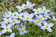 """When I was a little girl, I always looked forward to when the """"pretty blue flowers"""" would bloom in our front yard. Still do."""