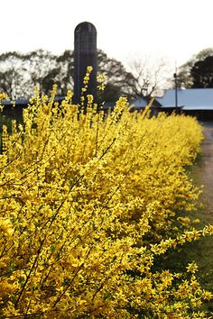 Forsythia is a must. Perfect for spring!